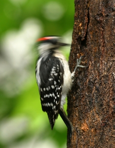 woodpecker_drilling